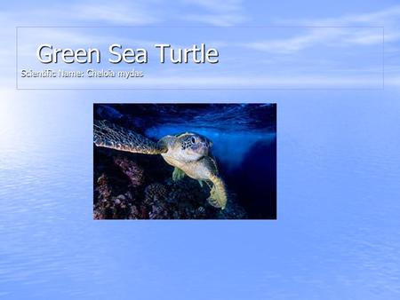 Green Sea Turtle Scientific Name: Cheloia mydas