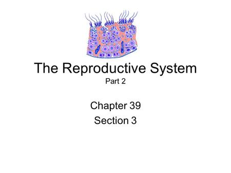 The Reproductive System Part 2 Chapter 39 Section 3.
