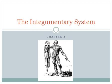 CHAPTER 5 The Integumentary System. The parts of the integument: Skin Sweat and Oil glands hairs Nails.