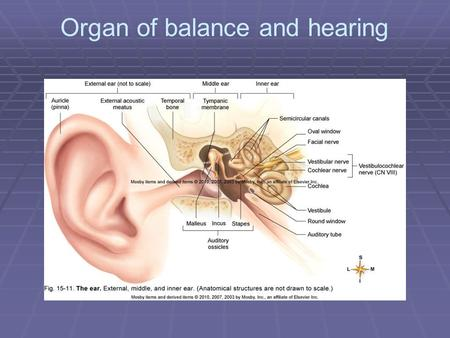 Organ of balance and hearing.
