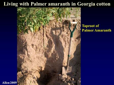 Taproot of Palmer Amaranth Allen 2009 Living with Palmer amaranth in Georgia cotton.