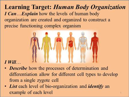 Learning Target: Human Body Organization I Can…Explain how the levels of human body organization are created and organized to construct a precise functioning.