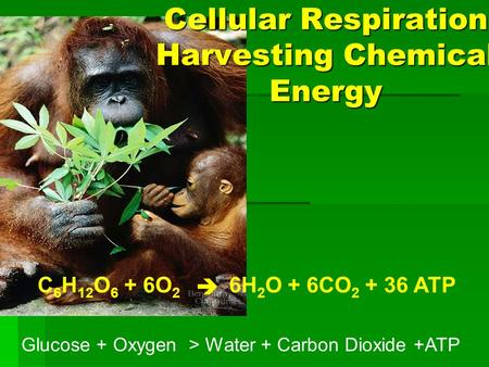 6H 2 O + 6CO 2 + 36 ATPC 6 H 12 O 6 + 6O 2  Cellular Respiration Harvesting Chemical Energy Glucose + Oxygen > Water + Carbon Dioxide +ATP.