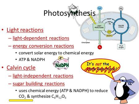 Photosynthesis Light reactions – light-dependent reactions – energy conversion reactions convert solar energy to chemical energy ATP & NADPH Calvin cycle.