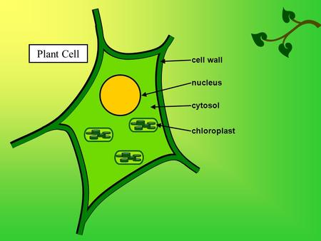 Plant Cell nucleus chloroplast cytosol cell wall.