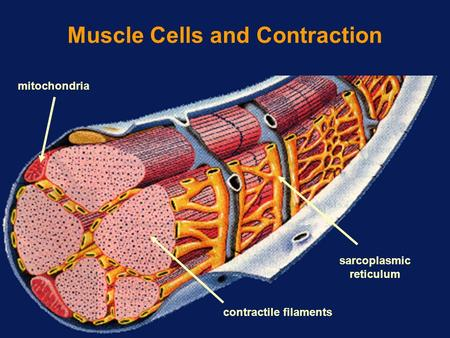 Muscle Cells and Contraction mitochondria contractile filaments sarcoplasmic reticulum.