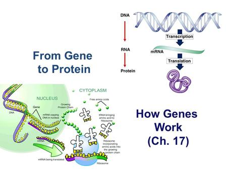 From Gene to Protein How Genes Work (Ch. 17). What do genes code for? proteinscellsbodies How does DNA code for cells & bodies?  how are cells and bodies.