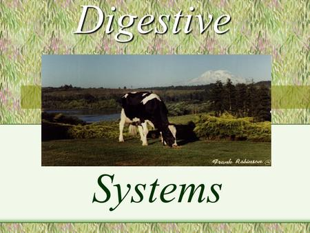 Digestive Systems A RUMINANT IS : An animal with four distinct compartments in its stomach, which swallows its food essentially unchewed, regurgitates.