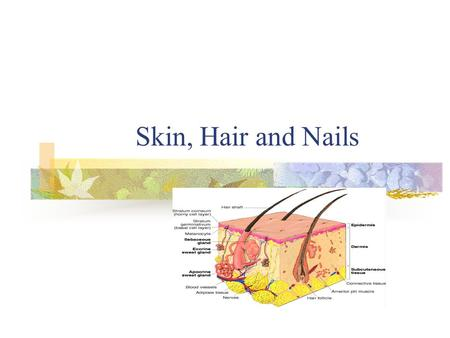 Skin, Hair and Nails. Skin 2 Layers of Skin Outer Epidermis Inner supportive Dermis 3 rd Layer of Subcutaneous Adipose.