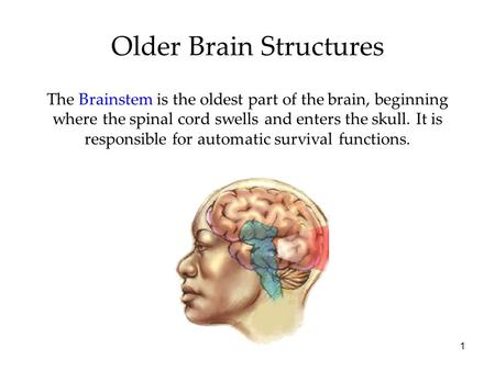 1 Older Brain Structures The Brainstem is the oldest part of the brain, beginning where the spinal cord swells and enters the skull. It is responsible.