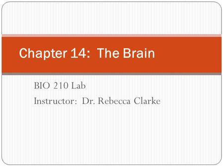BIO 210 Lab Instructor: Dr. Rebecca Clarke Chapter 14: The Brain.