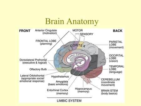 Brain Anatomy Dura Mater Superficial Fuses brain to skull Arachnoid Reduces friction Filled with CSF; shock absorber Pia Mater Very Vascular; needs a.