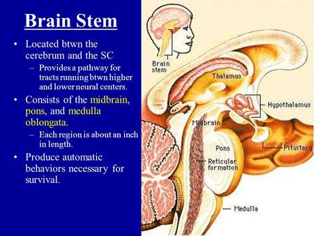 Brain Stem Located btwn the cerebrum and the SC
