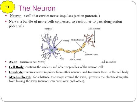 The Neuron Neuron: a cell that carries nerve impulses (action potential) Nerve: a bundle of nerve cells connected to each other to pass along action potentials.