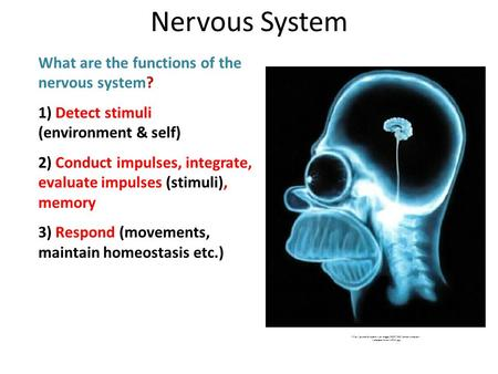 What are the functions of the nervous system? 1) Detect stimuli (environment & self) 2) Conduct impulses, integrate, evaluate impulses (stimuli), memory.