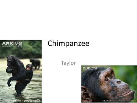 Chimpanzee Taylor. Habitat Rain forests Lowland And mountain forests.