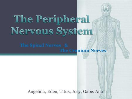 Angelina, Eden, Titus, Joey, Gabe. Ana The Spinal Nerves & The Cranium Nerves.