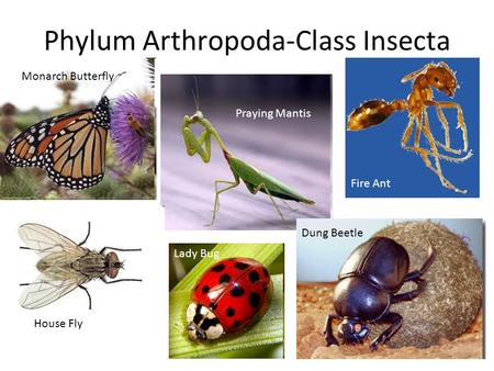 Phylum Arthropoda-Class Insecta Monarch Butterfly Praying Mantis Fire Ant House Fly Lady Bug Dung Beetle.