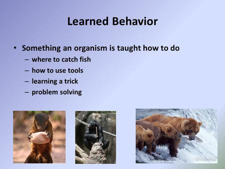Learned Behavior Something an organism is taught how to do – where to catch fish – how to use tools – learning a trick – problem solving.
