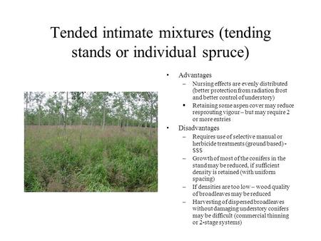 Tended intimate mixtures (tending stands or individual spruce) Advantages –Nursing effects are evenly distributed (better protection from radiation frost.