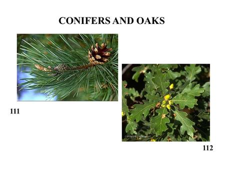 111 112 CONIFERS AND OAKS. 28 29 80 88 120 81 84.