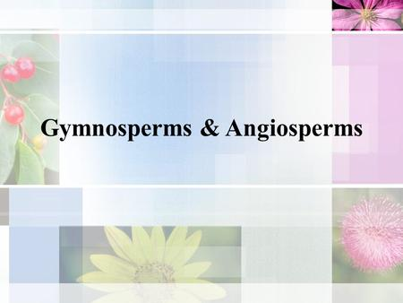 Gymnosperms & Angiosperms. I. Gymnosperms – do not produce flowers or fruits but do produce seeds. A. Largest groups of gymnosperms are the conifers.