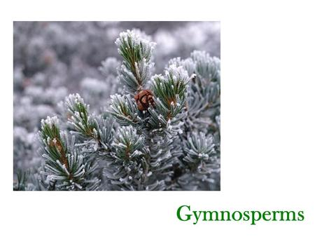 Gymnosperms. Gymnosperm Facts - The late tracheophytes are the Gymnosperms and Angiosperms. Gymnosperms and Angiosperms are the Seed Plants. - Gymnosperms.