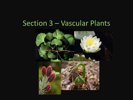Section 3 – Vascular Plants. Seedless Vascular Plants Dominated the earth until 200 million years ago Made up of 4 phyla – The ferns and the fern allies.