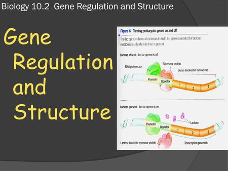 Biology 10.2 Gene Regulation and Structure Gene Regulation and Structure.