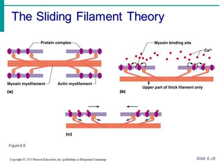 The Sliding Filament Theory Slide 6.18 Copyright © 2003 Pearson Education, Inc. publishing as Benjamin Cummings Figure 6.8.