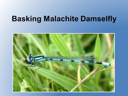 Basking Malachite Damselfly Physical Description Has a bright metallic- green body with white, powdery splashes on its head and thorax Sits with its.