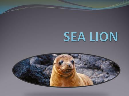 Sea lions are pinniped which means that it has webbed feet. They are marine mammals. Sea lion males are called bulls and females are called cows and their.