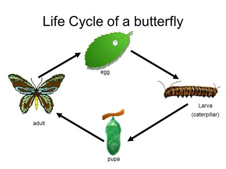 Life Cycle of a butterfly egg Larva (caterpillar) pupa adult.
