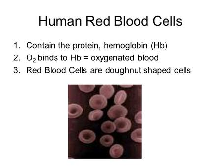Human Red Blood Cells 1.Contain the protein, hemoglobin (Hb) 2.O 2 binds to Hb = oxygenated blood 3.Red Blood Cells are doughnut shaped cells.