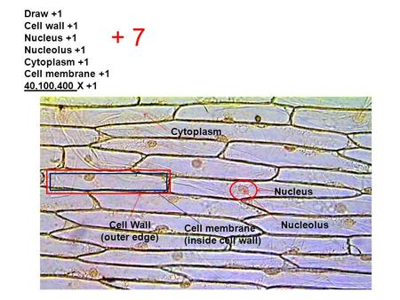Draw +1 Cell wall +1 Nucleus +1 Nucleolus +1 Cytoplasm +1 Cell membrane +1 40,100,400 X +1 + 7 Nucleus NucleolusCell Wall (outer edge) Cell membrane (inside.