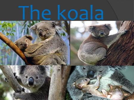 The koala. Taxonomic classification Kingdom: Animalia Phylum: Chordata Class: Mammalia Order: Diprotodontia Family: Phascolartidae Genre: Phascolartos.