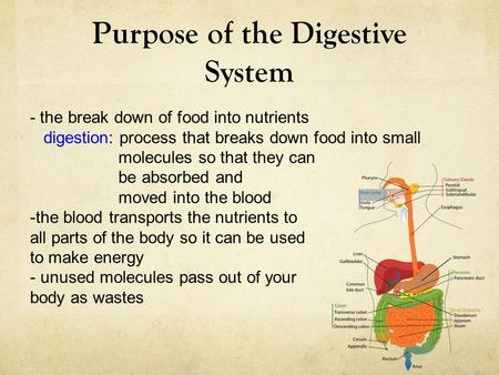 Purpose of the Digestive System - the break down of food into nutrients digestion: process that breaks down food into small molecules so that they can.