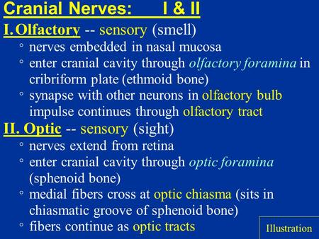 Cranial Nerves:I & II I.Olfactory -- sensory (smell) ° nerves embedded in nasal mucosa ° enter cranial cavity through olfactory foramina in cribriform.
