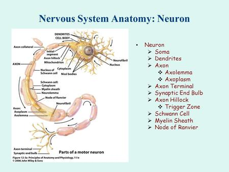 Nervous System Anatomy: Neuron