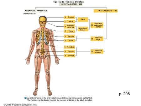 Figure 7-1a The Axial Skeleton