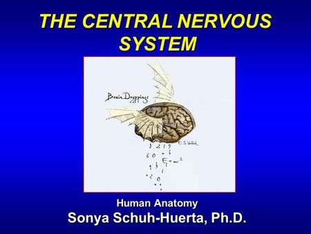 THE CENTRAL NERVOUS SYSTEM Human Anatomy Sonya Schuh-Huerta, Ph.D.