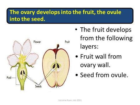 The ovary develops into the fruit, the ovule into the seed. The fruit develops from the following layers: Fruit wall from ovary wall. Seed from ovule.