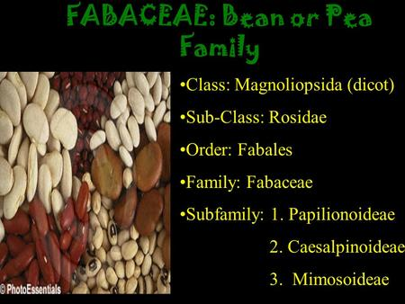 FABACEAE: Bean or Pea Family