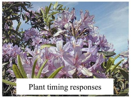 Plant timing responses. Like animals, plants have both exogenous and endogenous factors that control rhythms. Circadian rhythms shown by plants include: