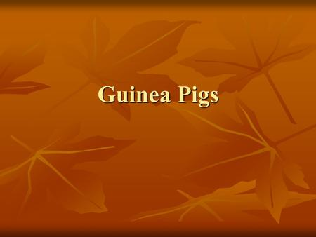 Guinea Pigs. Varieties Abyssinian – Hair is made up of swirls called rosettes Abyssinian – Hair is made up of swirls called rosettes American – Short.