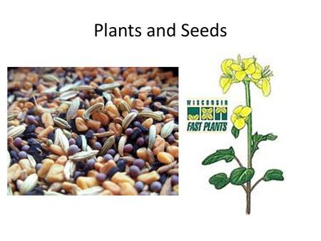 "Plants and Seeds. From Seed to Plant Seeds become Plants in a process called ""Germination"" Seeds are dormant and protected by a tough outer coat. Inside."