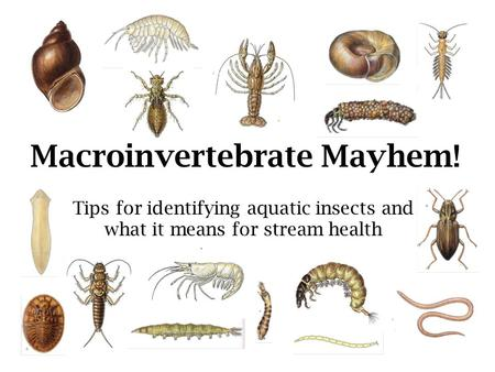 Tips for identifying aquatic insects and what it means for stream health Macroinvertebrate Mayhem!