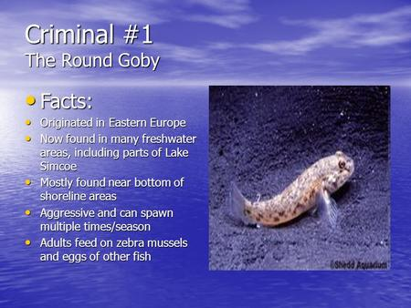 Criminal #1 The Round Goby