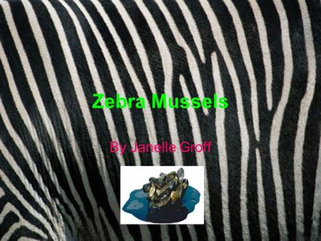 Zebra Mussels By Janelle Groff. What is a Zebra Mussel? The zebra mussel, Dreissena polymorpha, is a species of small freshwater mussel, an aquatic bivalve.