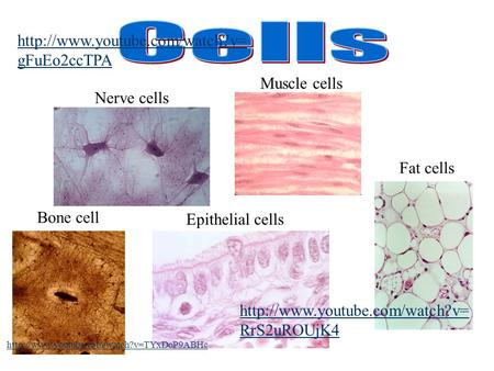 Nerve cells Muscle cells Epithelial cells Bone cell Fat cells   gFuEo2ccTPA